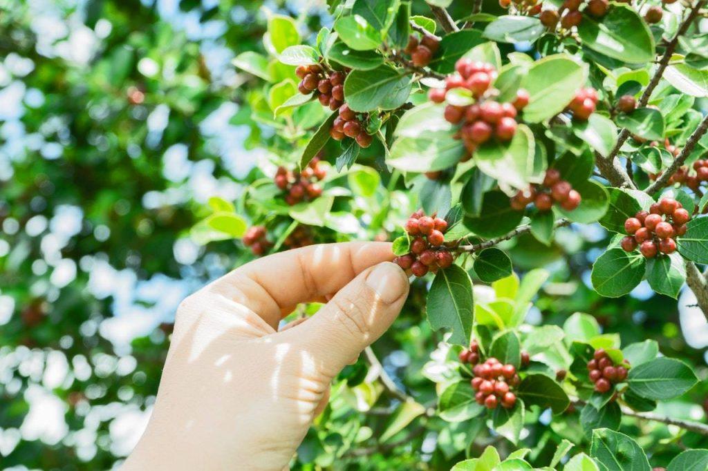 Árbol de café peruano